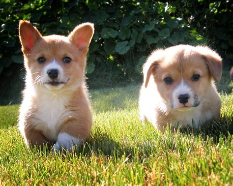 puppies to go the 30 cutest corgi puppies of all time best photography landscapes and animal