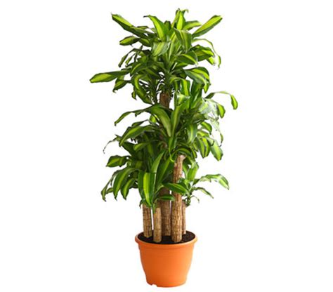 zimmerpflanzen für dunkle räume drachenbaum pflege drachenbaum pflege braune bl tter