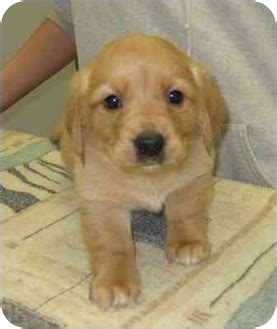 golden retriever dachsund dachshund golden retriever mix for adoption breeds picture