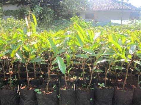 Bibit Durian Matahari Unggul bibit durian matahari bibit tanaman buah penghijauan produktif