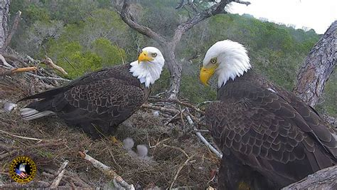 ne florida live eagle cam american eagle foundation