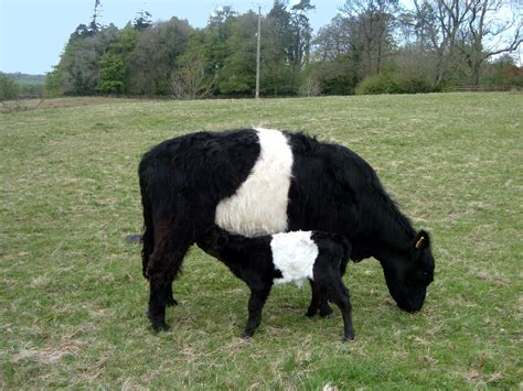 unique breeds different breeds of cattle myideasbedroom