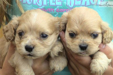 cocker spaniel puppies for sale in sc cocker spaniel puppy for sale near greenville upstate south carolina ca0c8e3b 08c1