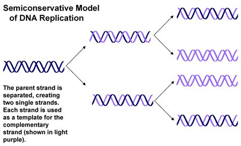 semiconservative replication involves a template what is the template dna replication and repair biol230w fall09 confluence