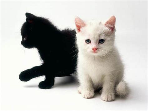 black and white wallpaper on sale black and white kittens for sale wallpaper cute kitten