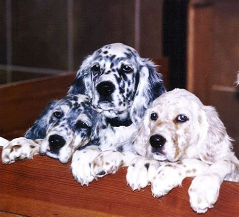 48 best images about english setter on pinterest 44 best llewellin setters images on pinterest english