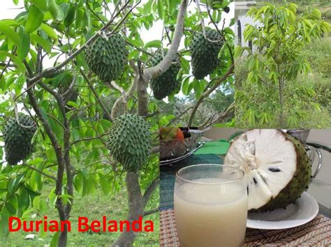 durian belanda premier asia group