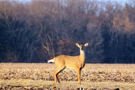 Shedding Shoo by Heartland Outdoors Shootin Whitetails Does Sheds