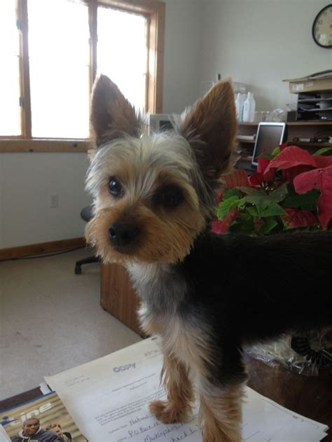 pictures of puppy haircuts for yorkie dogs 28 best images about yorkie cuts on pinterest