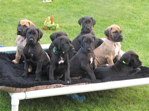 puppy breeders in maryland great dane puppies picture maryland breeders guide