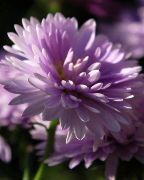 Pink Aster Flowers Jpg 1 Comment Aster Flower Gallery