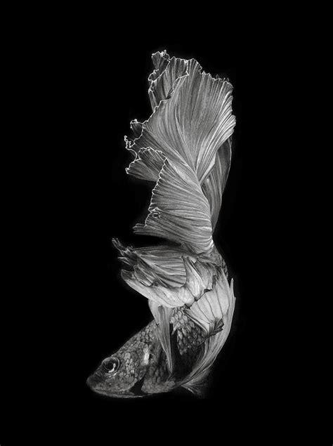 Rak Ikan Cupang kumpulan jenis ikan cupang yang menakjubkan marlique