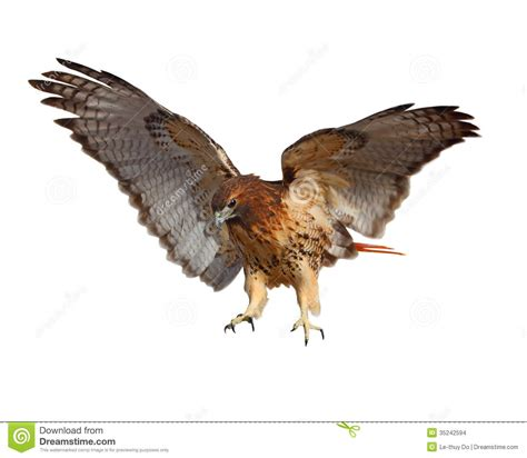 Free Barn Plans by Red Tailed Hawk Stock Photo Image Of White Chickenhawk