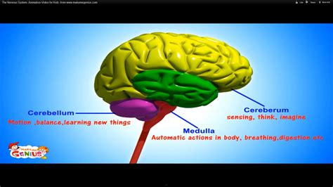 three main sections of the brain the nervous system animation video for kids the