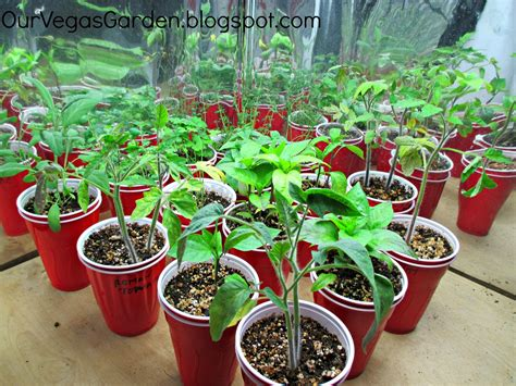 indoor tomato garden indoor tomato garden 17 best images about indoor tomatoes