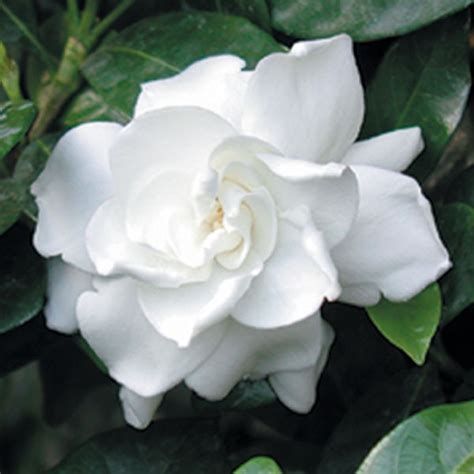 gardenia fortuniana gardenia jasminoides