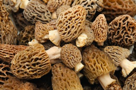 are mushrooms bad for dogs buying michigan morel mushrooms buyer beware of bad mushrooms