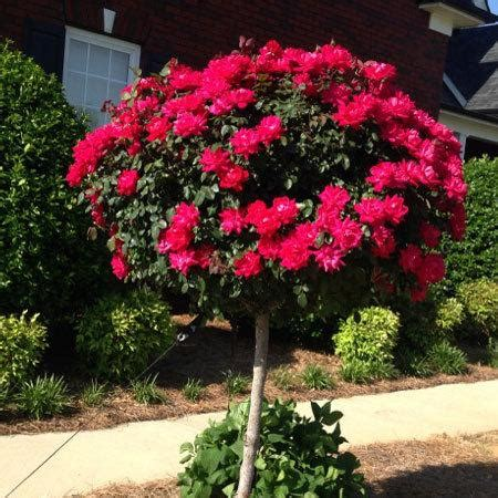 Flowering Trees Small Ornamental Trees Perfect For Your Flowering Trees For Small Gardens