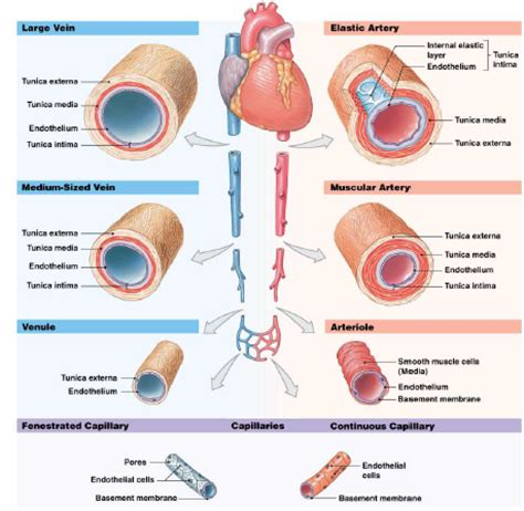 diagram of the blood vessels 16 blood vessels flow anatomy physiology biol121 with