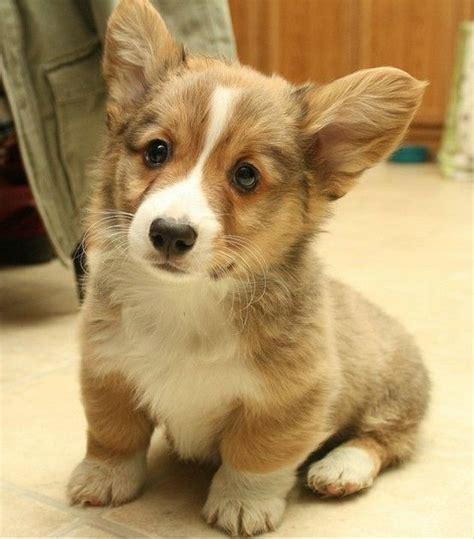 find corgi puppies corgi puppy i want one so bad things i find