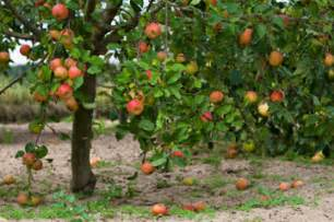 fruit trees adelaide pruning fruit trees
