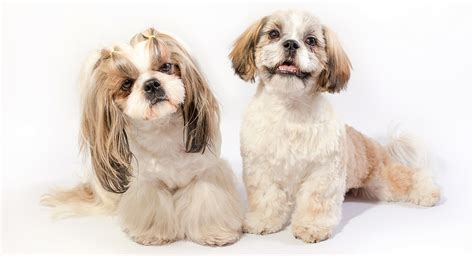 names for shih tzu males shih tzu names adorable to awesome ideas for naming your puppy