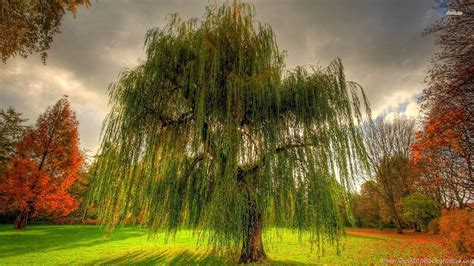 weeping willow wallpaper  images