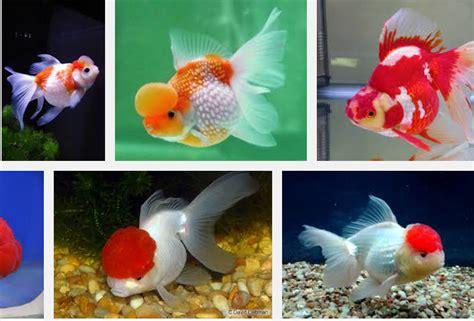 Pakan Ikan Koki Terbaik ikan koki dan tekhnik cara budidayanya