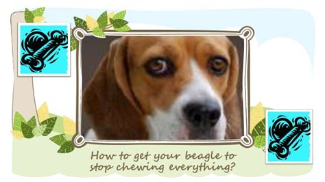 how to get a to stop chewing how to get your beagle to stop chewing
