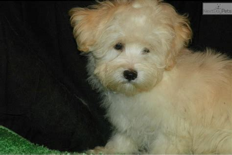 havanese price range dogs and puppies for sale and adoption oodle marketplace