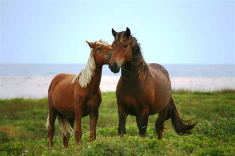 pony island picture7 today s horse facts the sable island horse horse facts