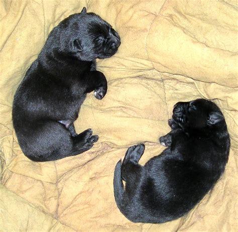 black shepherd puppies week black and german shepherd puppy breeds picture