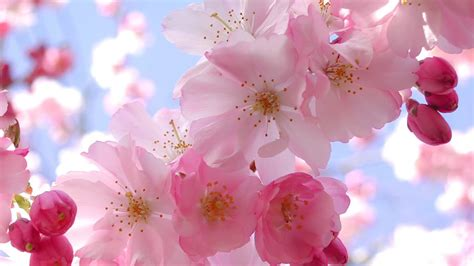 cherry blossoms cherry blossom wallpaper desktop wallpaper wallpaperlepi