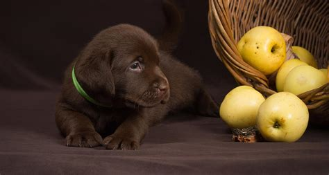 dogs and apples can dogs eat apples and other fruit the labrador site