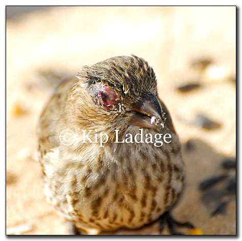 house finch conjunctivitis ladage photography photographs by kip ladage images of