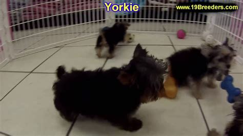 yorkshire terrier yorkie puppies dogs  sale