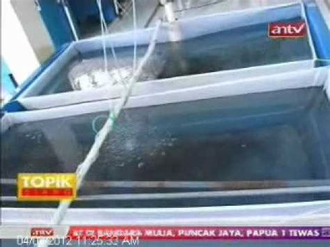 Bibit Lele Sangkuriang Purworejo matahari sakti acara tv pelangi desa perikanan part 1