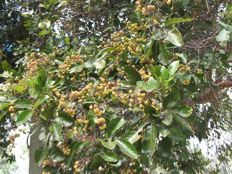 cheese fruit tree cheese tree