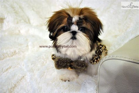 imperial shih tzu puppies for sale los angeles shih tzu puppy for sale near los angeles california e93a8f03 7531