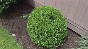 how to trim round shrubs and bushes