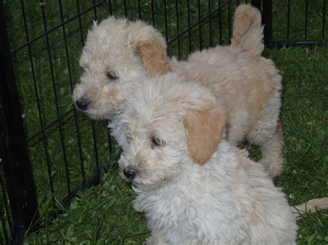 labradoodles puppies for sale stunning f1b labradoodle puppies for sale gravesend