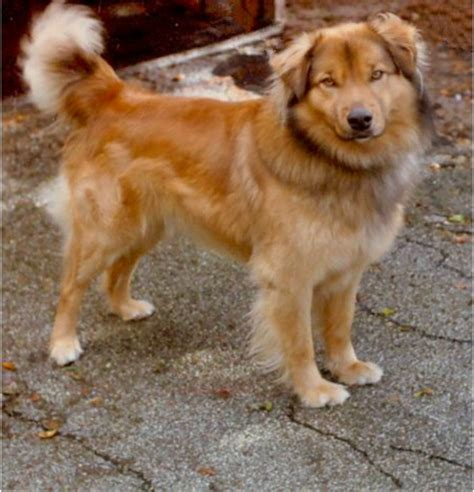 golden retriever wolf mix 17 best images about dogs mix wolf on puppys labradors and wolf husky