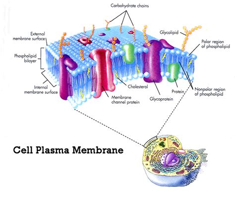 cell membrane structure  function membrane structure