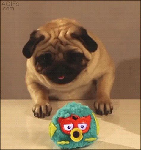 everything pug pug gifs find on giphy