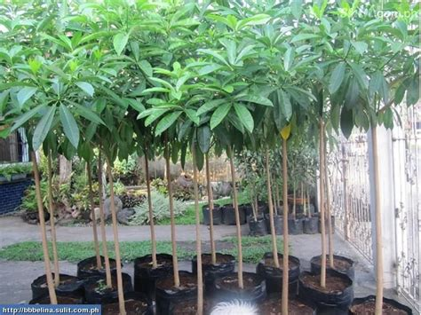 Jual Bibit Of Irian jual pohon pule di depok jual bibit pohon tanaman