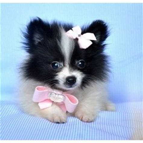 teacup pomeranian for sale illinois 1000 images about teacup pomeranian puppies for sale on