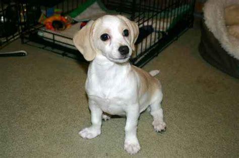 cheagle puppies cheagle beagle chihuahua mix info puppies temperament pictures behavior