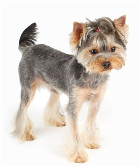 how to shave a yorkie the yorkie coat facts care grooming haircut styles