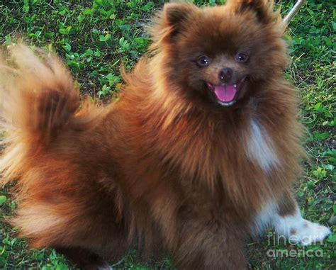 chocolate and pomeranian chocolate and white pomeranian photography photograph chocolate and white