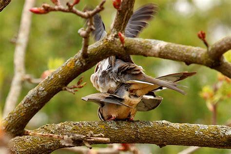 mourning dove mating behavior back yard biology